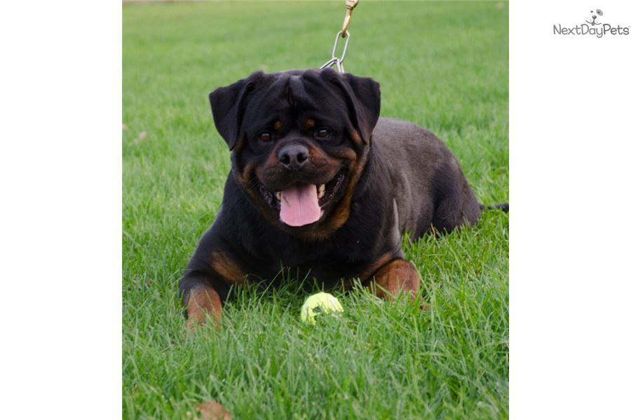 Ch Import Huge Head Rottweiler Puppy For Sale Near Syracuse New