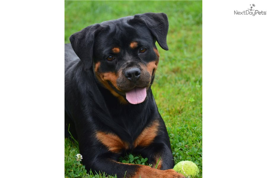 Imported Akc Adoption Rottweiler Pictures Puppie Wwwpicturesbosscom
