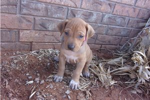 AKC girls  | Puppy at 6 weeks of age for sale