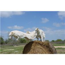 View full profile for Shefaro Borzoi And Boer Goats