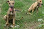 Picture of Red Brindle Girl