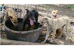 Picture of Black Greyhound Boy