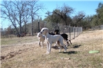 Picture of Saluki girl Honore