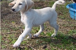 Picture of a Saluki Puppy