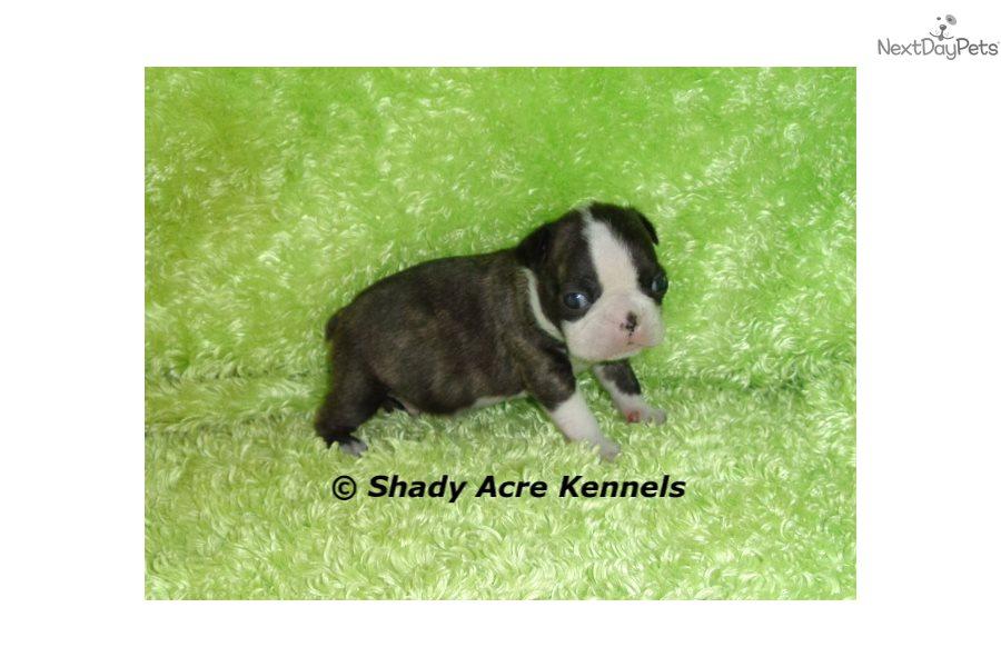 Boston Terrier puppy for sale near Macon / Warner Robins