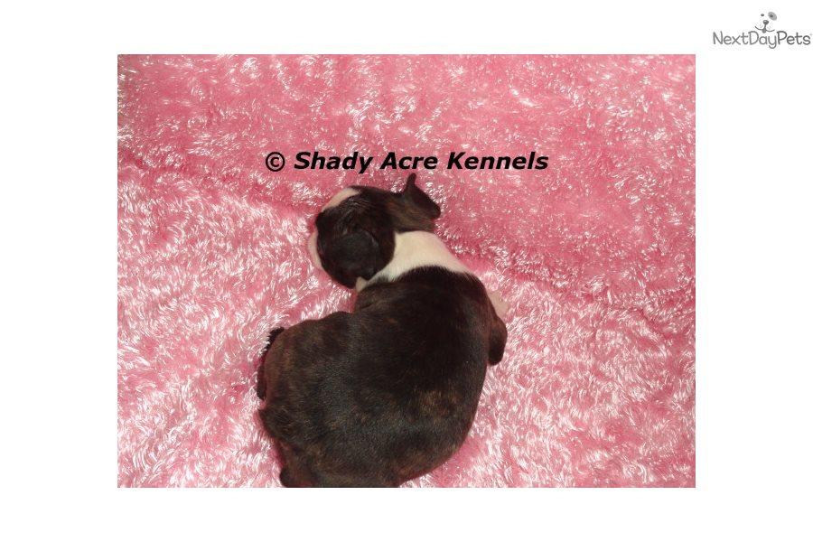 Stephanie: Boston Terrier puppy for sale near Macon / Warner