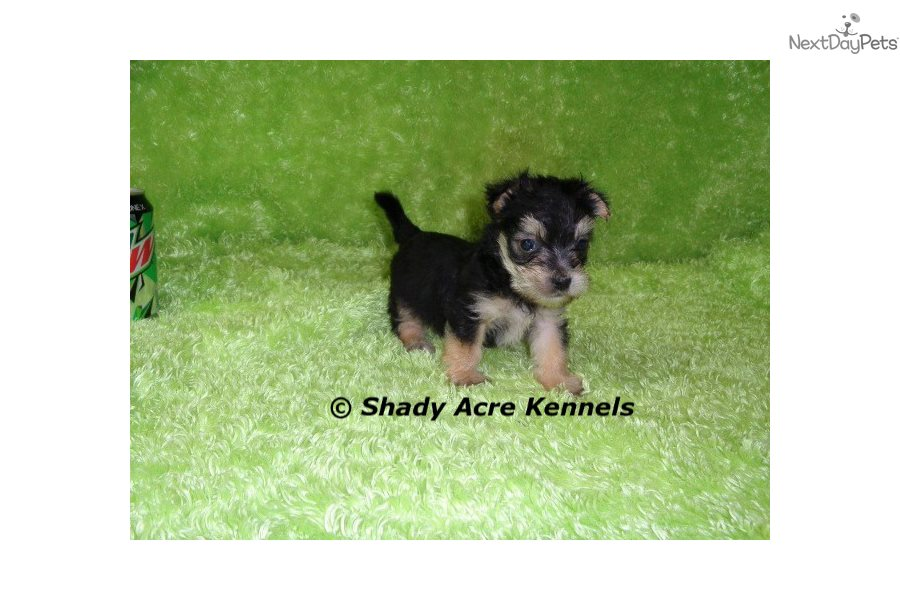 New Litter: Morkie / Yorktese puppy for sale near Macon