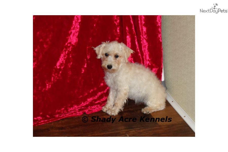 Schnoodle puppy for sale near Macon / Warner Robins, Georgia