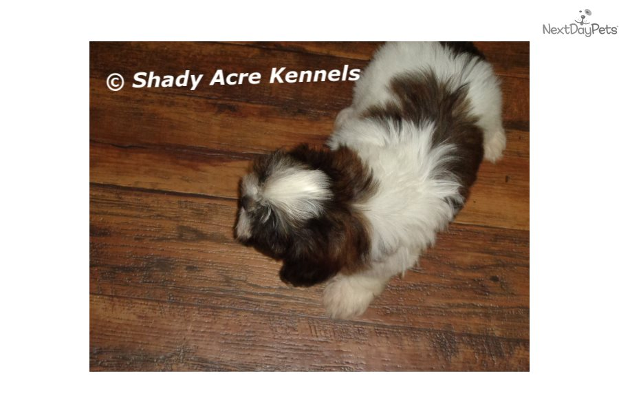 Boaz Shih Tzu Puppy For Sale Near Macon Warner Robins Georgia