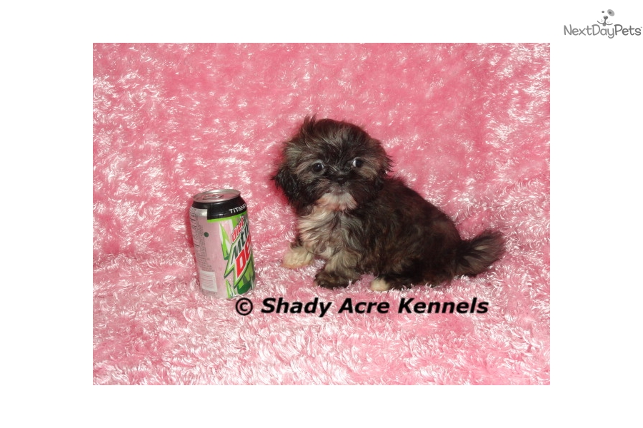 Pompom Shih Tzu Puppy For Sale Near Macon Warner Robins Georgia