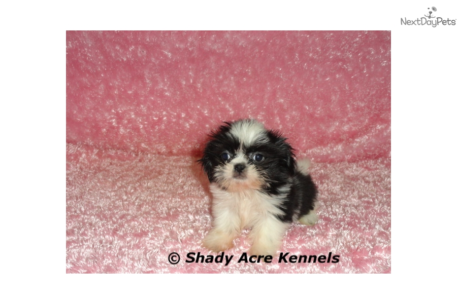 Krispy Shih Tzu Puppy For Sale Near Macon Warner Robins Georgia