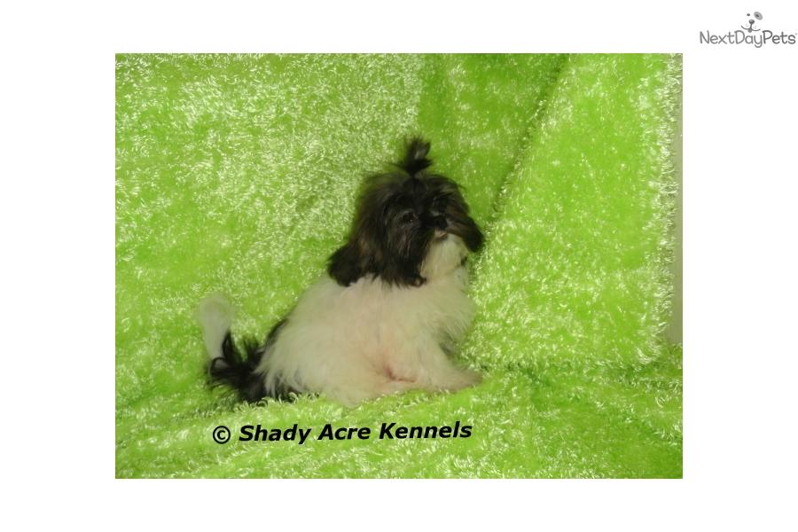 Handsome: Shih Tzu puppy for sale near Macon / Warner Robins