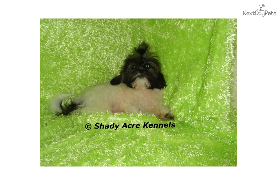 Handsome Shih Tzu Puppy For Sale Near Macon Warner Robins