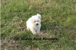 AKC Daphne- Ga- Delivery options available | Puppy at 16 weeks of age for sale
