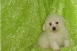 Bichon Frises for sale