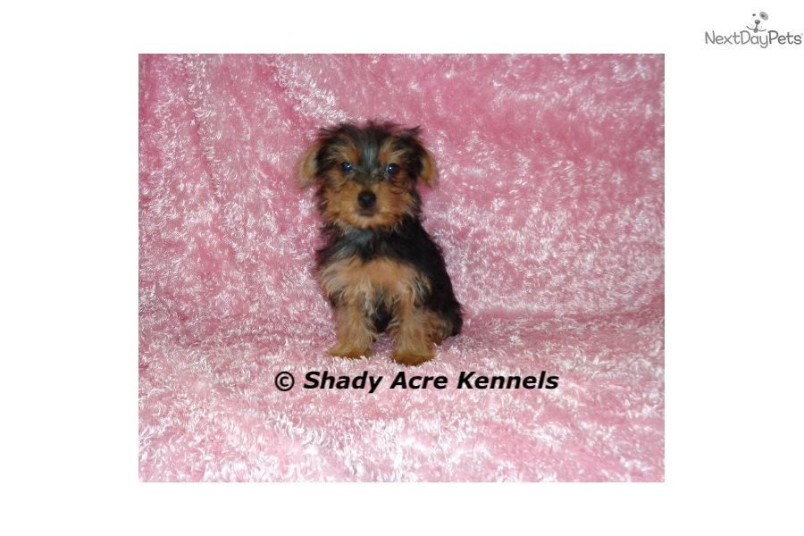 Paisley Yorkshire Terrier Yorkie Puppy For Sale Near Macon