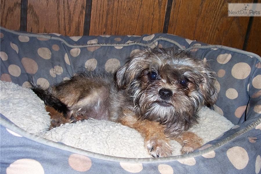 Vera Affenpinscher Puppy For Sale Near Southeast Ks Kansas