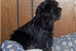 Picture of Really Nice Black&Tan Affenpinscher Male