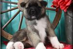 Picture of Exquist Baby Maxx!!!~BREATHTAKING! CH Sired~!