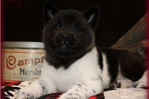 Toni | Puppy at 6 weeks of age for sale