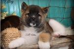 Akita for sale