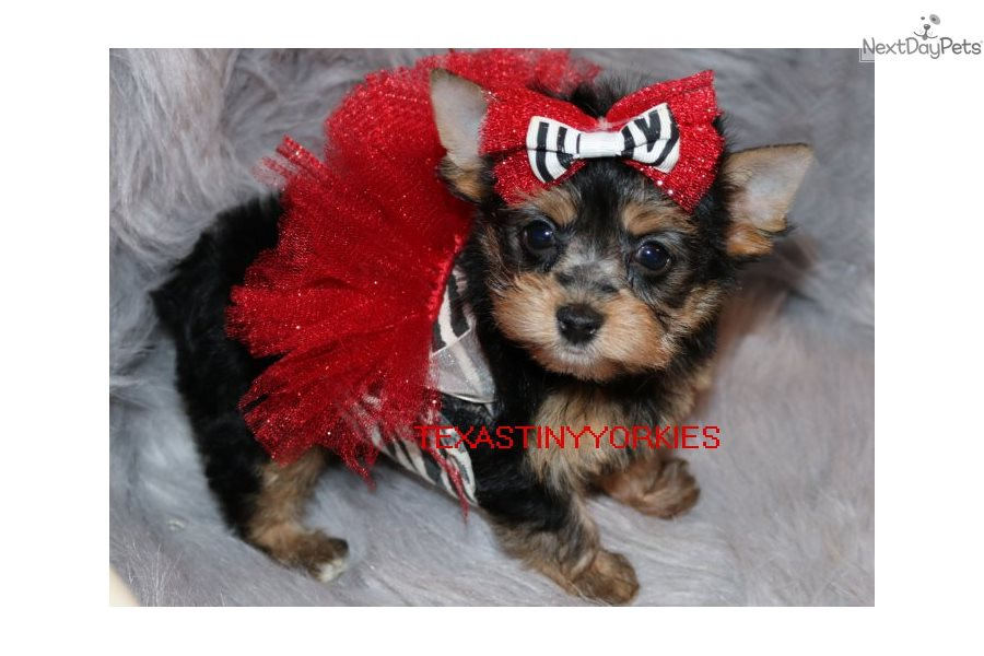 Lacey Yorkshire Terrier Yorkie Puppy For Sale Near Abilene Texas