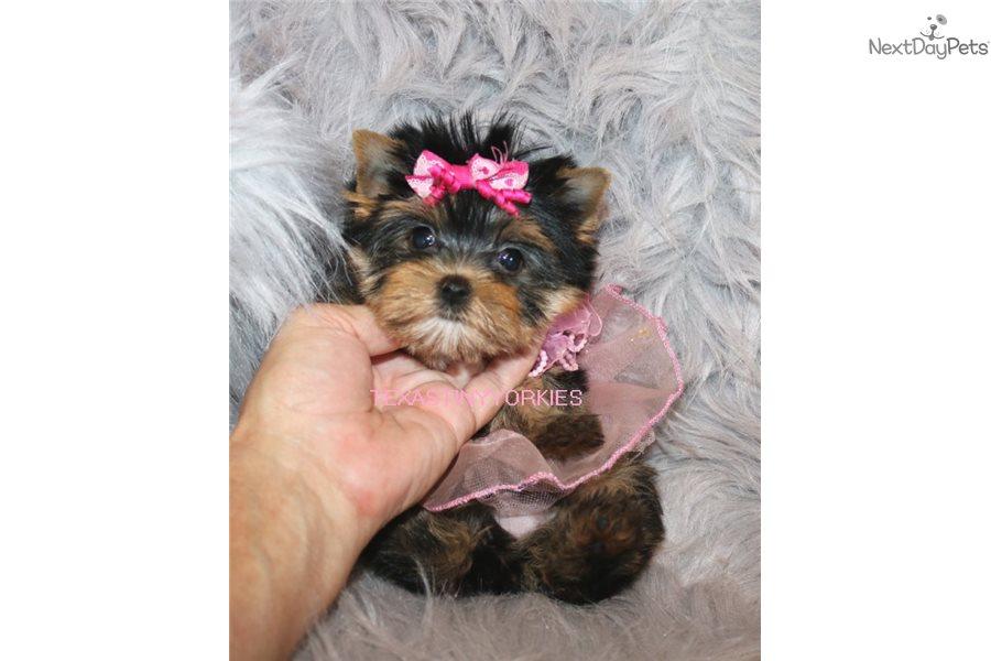 Rosie Yorkshire Terrier Yorkie Puppy For Sale Near Abilene Texas