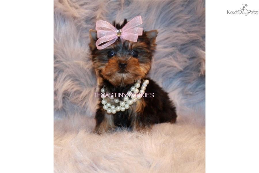 Tator Tot Yorkshire Terrier Yorkie Puppy For Sale Near Abilene
