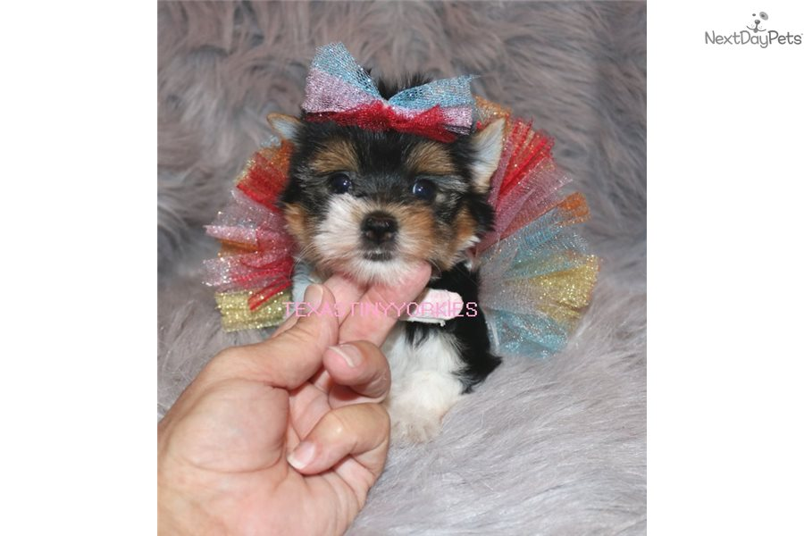 Presley Yorkshire Terrier Yorkie Puppy For Sale Near Abilene
