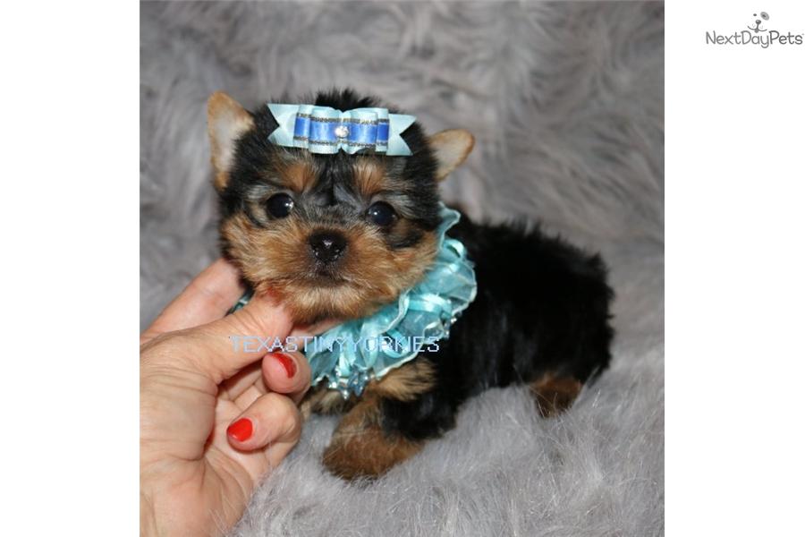 Gizmo Yorkshire Terrier Yorkie Puppy For Sale Near Abilene Texas