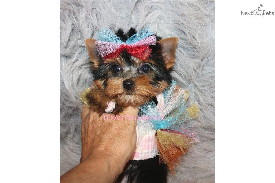 Yorkshire Terrier Yorkie Puppy For Sale Near Abilene Texas