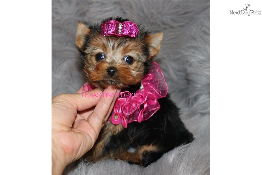 Daisy Yorkshire Terrier Yorkie Puppy For Sale Near Abilene Texas