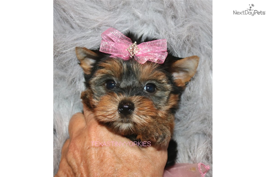 Sassy Yorkshire Terrier Yorkie Puppy For Sale Near Abilene Texas