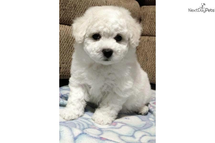 Akc Bichon Female: Bichon Frise puppy for sale near Dallas
