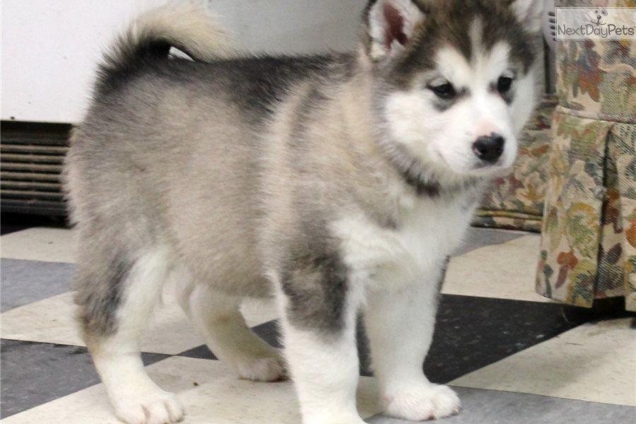 Tala Alaskan Malamute Puppy For Sale Near Sandusky Ohio