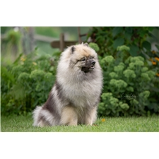 View full profile for Keeshond Heaven
