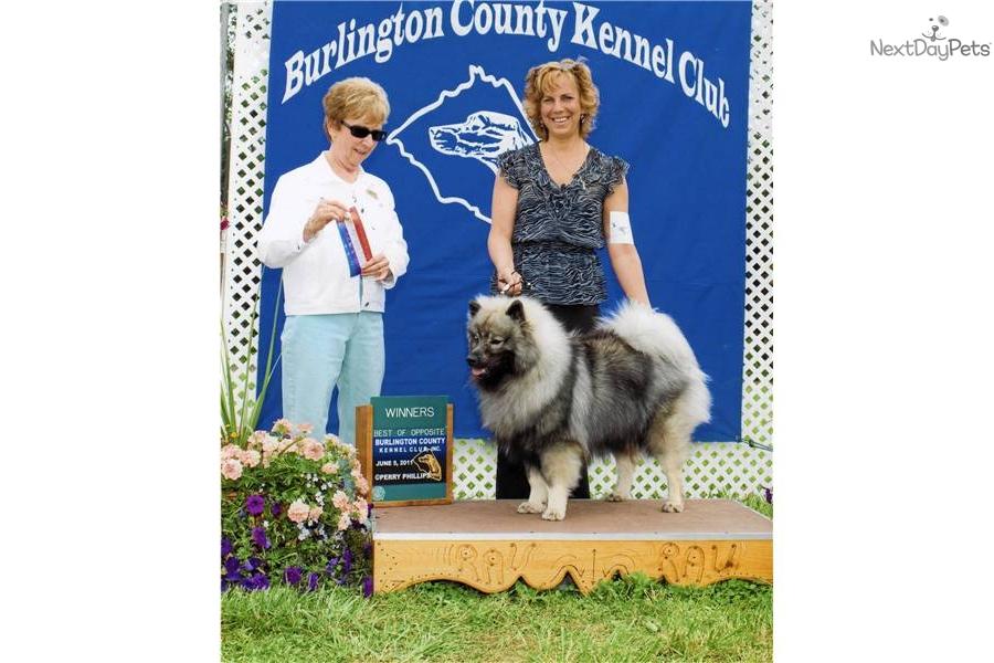 Baby Orianna: Keeshond puppy for sale near Lehigh Valley ...