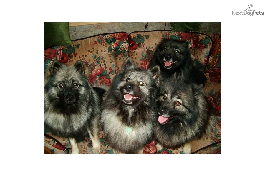 Puppies For Sale From Keeshond Heaven Member Since August 2005
