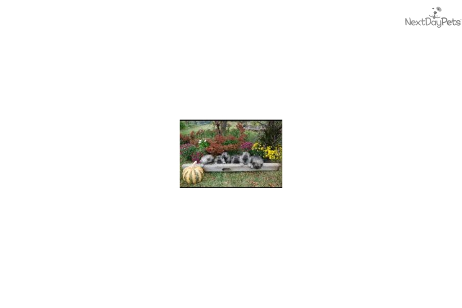 Keeshond Puppy For Sale Near Lehigh Valley Pennsylvania 5d7cea36 23a1