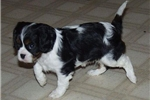 Featured Breeder of Cavalier King Charles Spaniels with Puppies For Sale