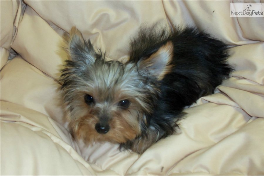 yorkie breeders in colorado yorkshire terrier yorkie puppy for sale near eastern co 1173