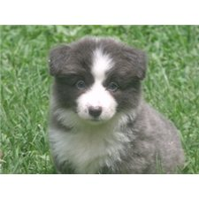 View full profile for Peachy Keen Border Collies