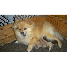 View full profile for Countryside Pomeranians