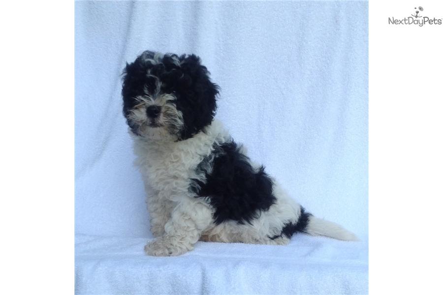 Panda Malti Poo Maltipoo Puppy For Sale Near Wilmington North