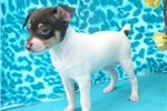 Picture of Chuck - Toy Fox Terrier