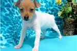 Picture of Cassie - Toy Fox Terrier