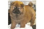 Featured Breeder of Chow Chows with Puppies For Sale