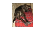 Picture of a Plott Hound Puppy
