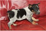 Picture of Purebred Blue Heeler girl