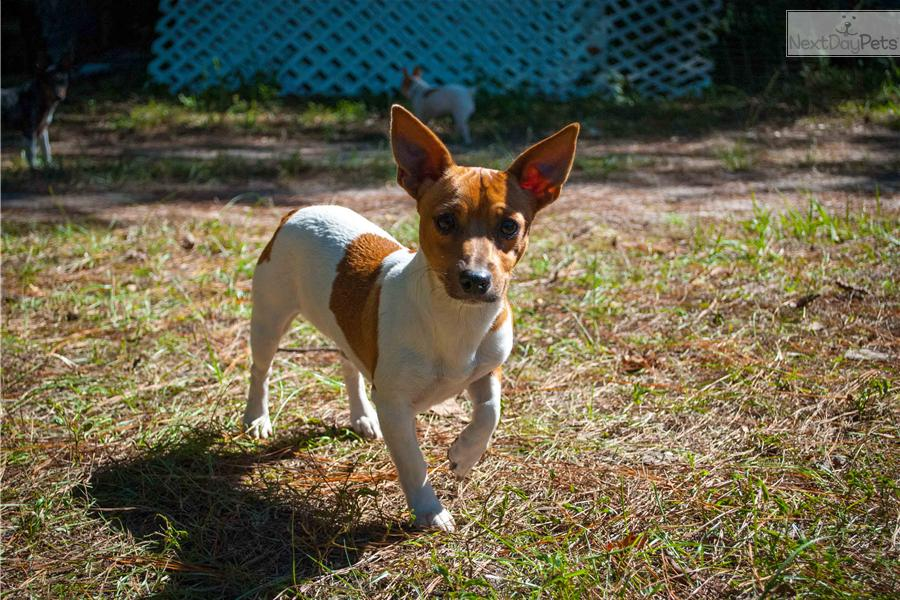 Meet Cocoa Butter A Cute Rat Terrier Puppy For Sale For